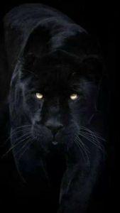 Black Panther Prowl